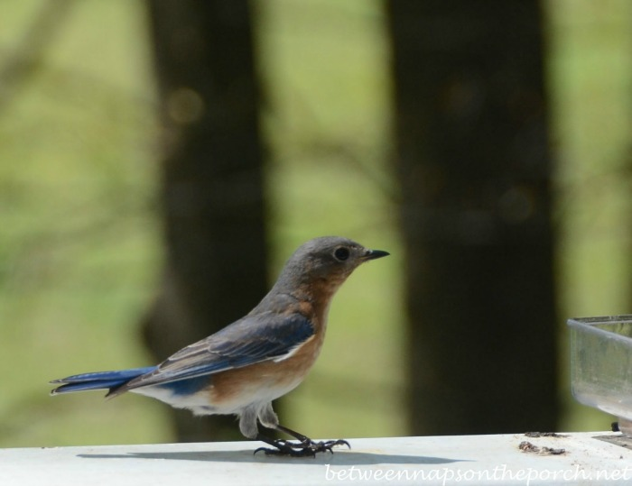 Bluebird Landing on Deck Rail