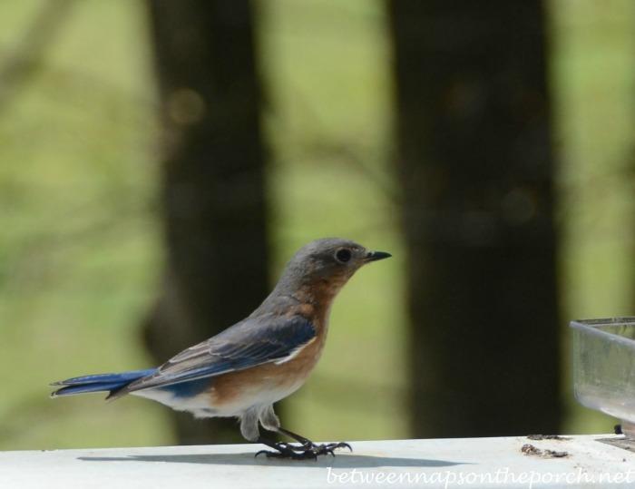 Bluebird Landing on Deck Rail