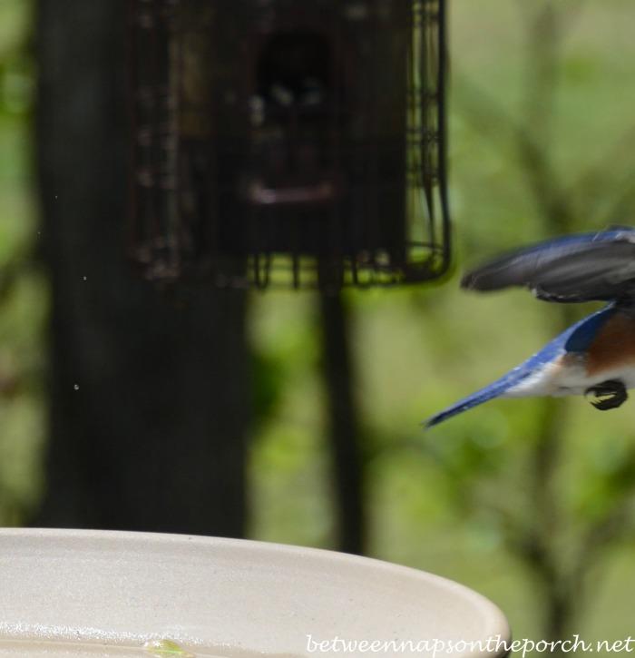 Bluebird Leaving Birdbath_wm