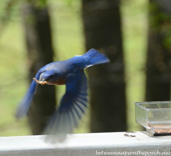Bluebird Taking Mealworms Back To Babies