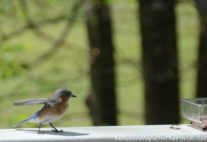 Bluebird Visiting For Worms
