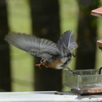 Beautiful Bluebirds Gathering Mealworms For Their Babies