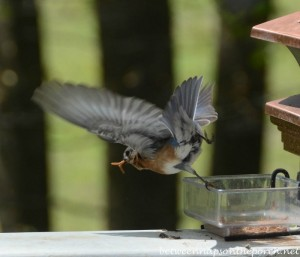 Bluebird With Meal Worm
