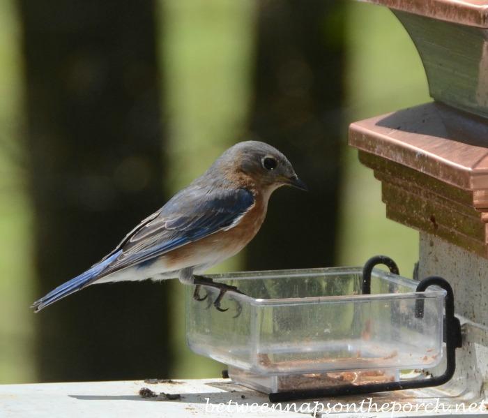 Bluebird at mealworm feeder