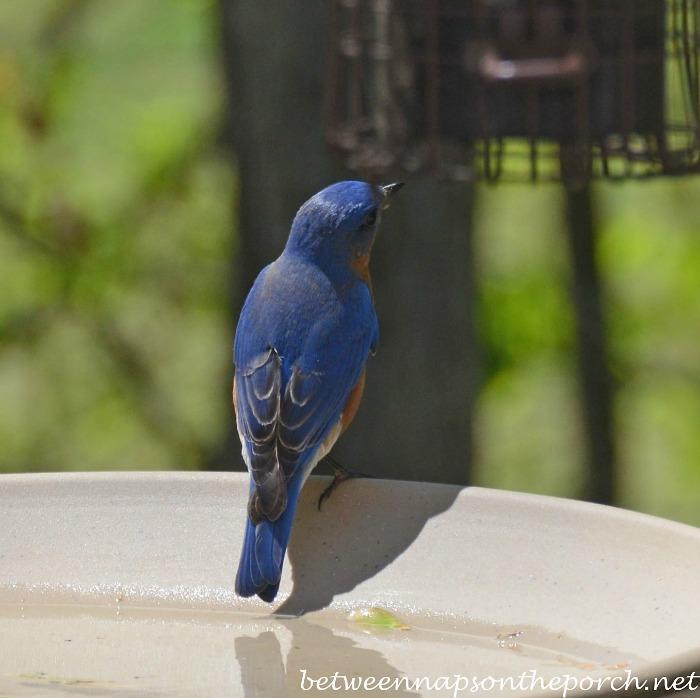 Bluebird on Birdbath