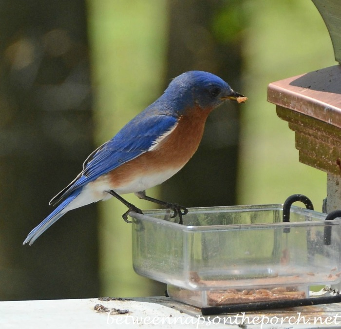 Bluebird with a Mealworm