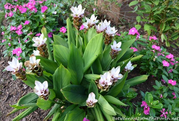 Curcuma Plant
