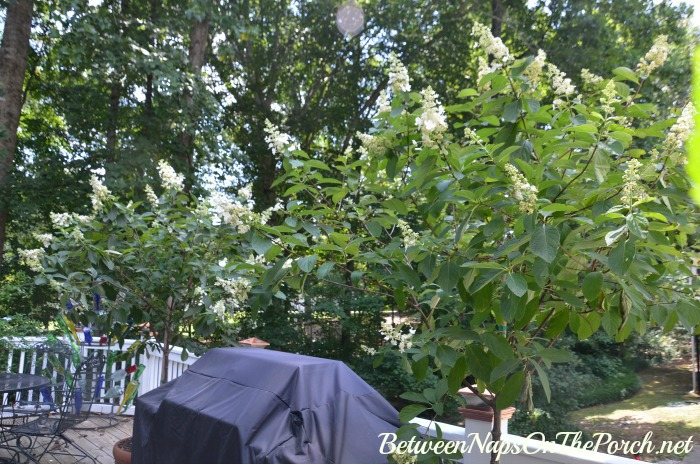 Tardiva Tree Form Hydrangeas in Bloom
