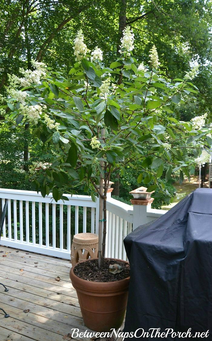 Tree -Form Tardiva Hydrangea In Bloom