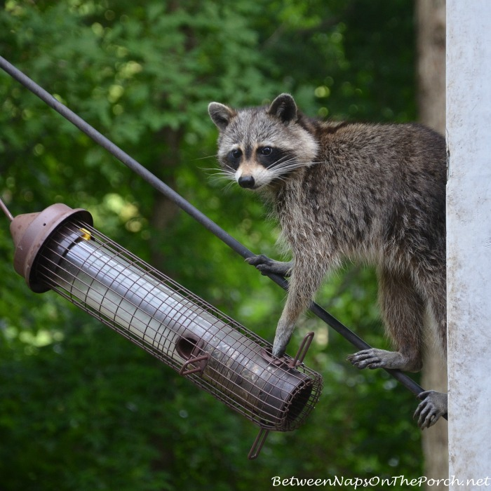 Raccoon Eating From Bird Feeder