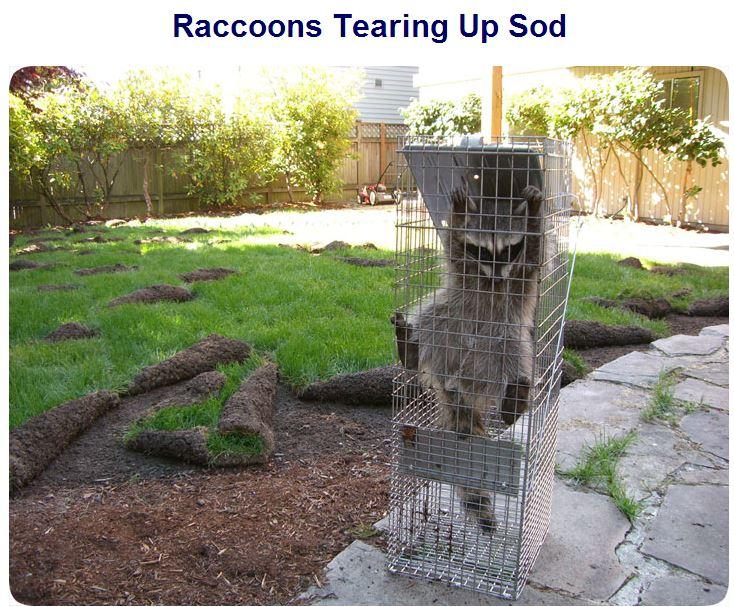 Raccoons Dig Up Sod