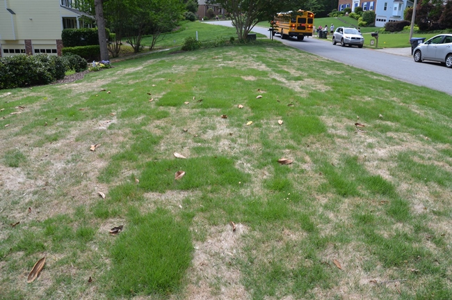 Zoysia Recovers From Winter Kill Amp Raccoons Peel Back Sod