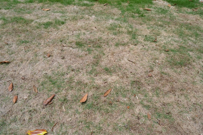 Zeon Grass Extremely Slow To Green Up4