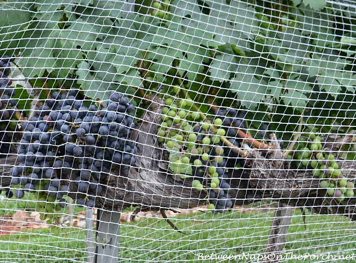 Grapes on Vine at Wolf Mountain Vineyards