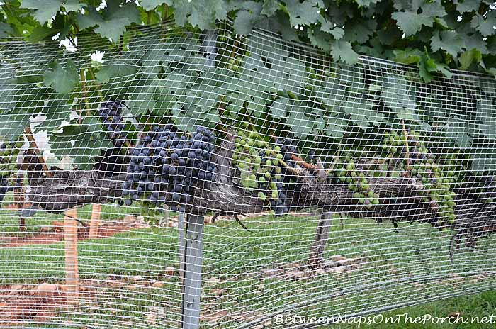 Grapes on the Vine at Wolf Winery Daholonega