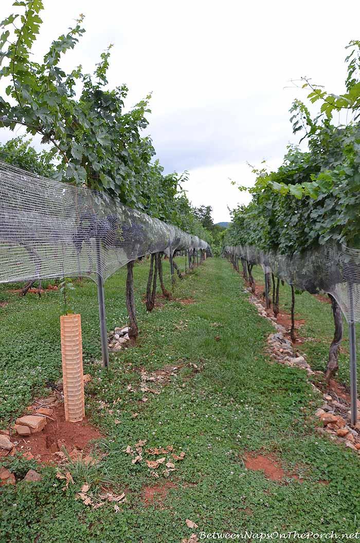 Growing Grapes For Wine in Dahlonega Georgia