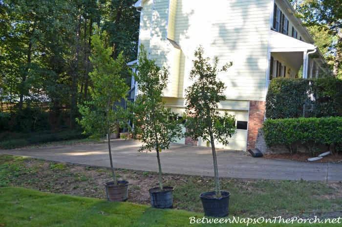 Savannah Hollies
