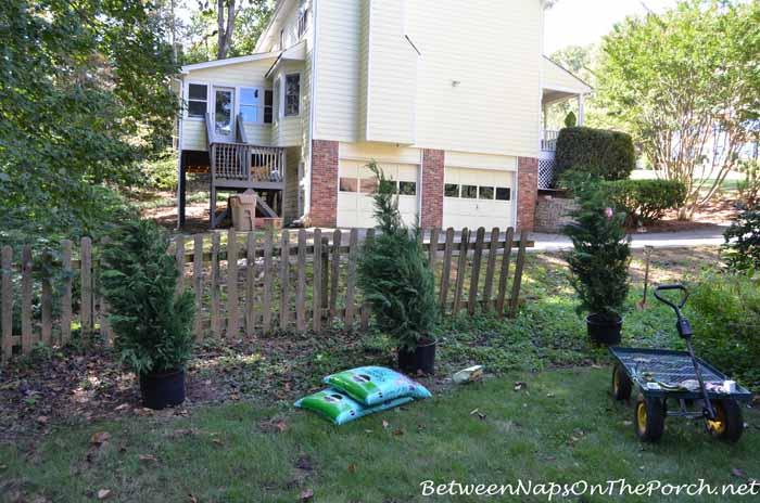 Planting Leyland Cypress for Screening