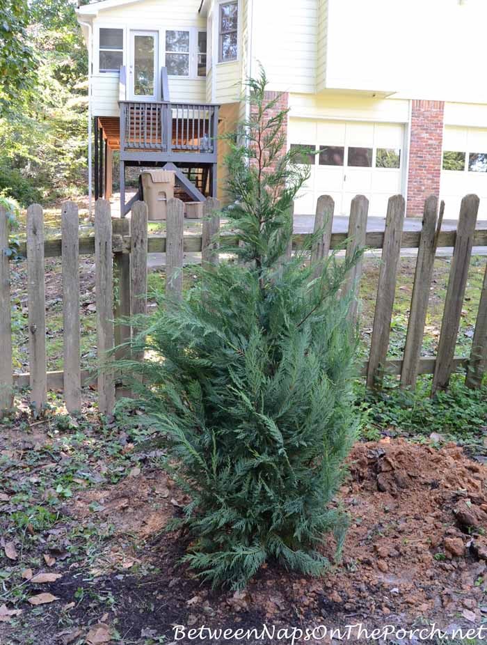 Planting Leyland Cypress for Screening