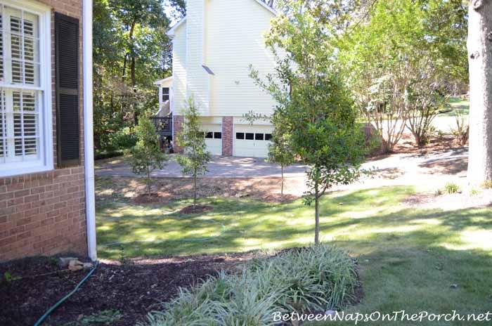 Savannah Holly Anchor Plant for Corner of House_wm