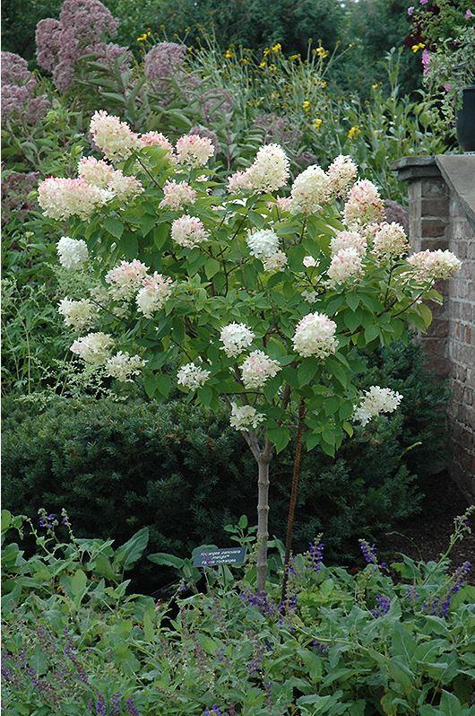Tree Form Limelight Hydrangea