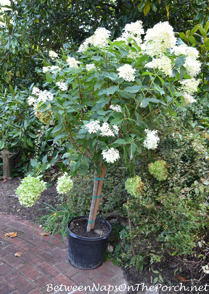 Tree Form Limelight Hydrangea