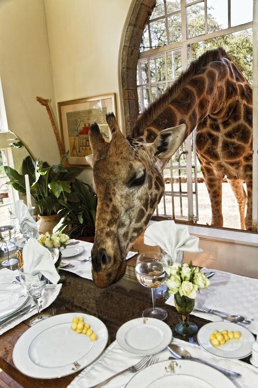 Adorable Giraffe at Giraffe Manor