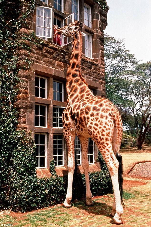 Giraffe at Giraffe Manor
