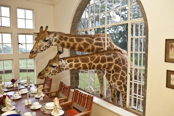 Giraffes in Window of Giraffe Manor