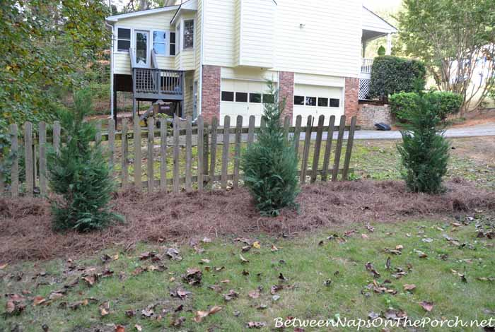 Leyland Cypress Planted  For Screening