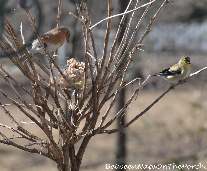 Bluebird and Goldfinch eating suet 2