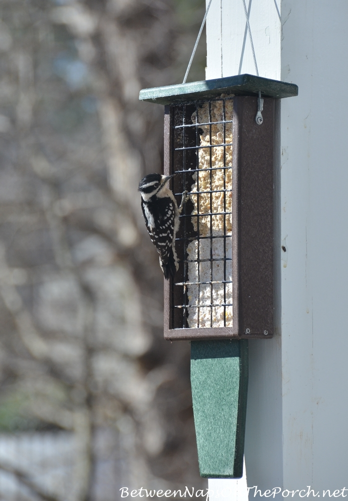 Suet Feeder for Pileated Woodpecker