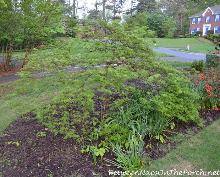 Japanese Maple After Transplanting_wm