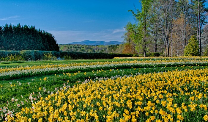 Daffodils in Bloom at Gibbs Gardens