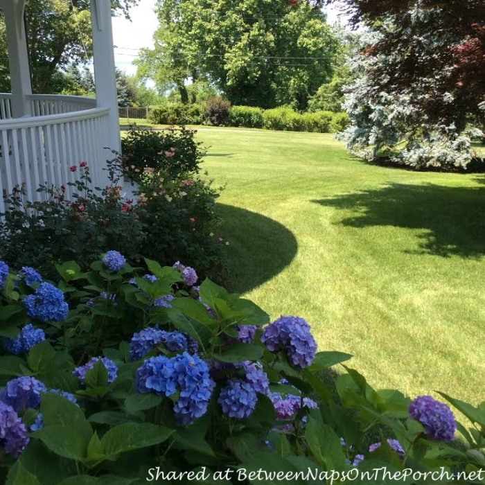 Blue & Purple Hydrangeas