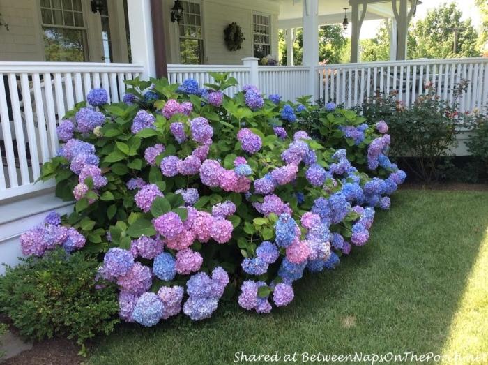 Pink, Lavender and Blue Hydrangeas