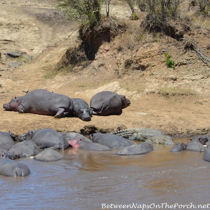 Crocodiles and Hippos on the Mara River