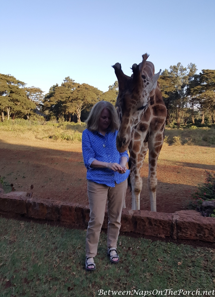 Feeding the Giraffes at Giraffe Manor