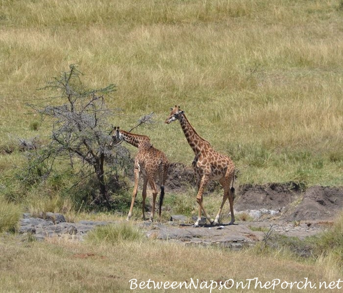 Giraffe in the valley below Mahali Mzuri_wm