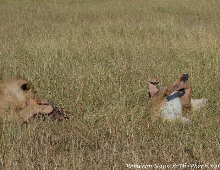 Lions, Kenya_wm