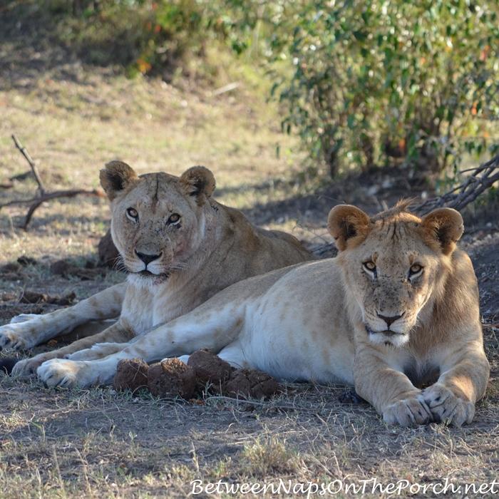 Lions in Kenya, Seen on Safari