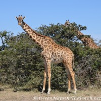 On Safari in Kenya with Lions and Giraffe: 2 Videos