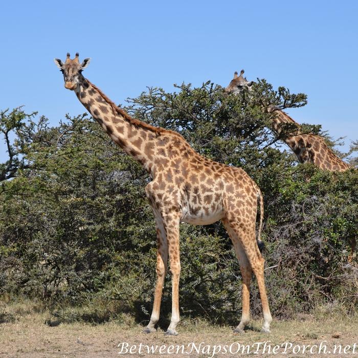 Maasai or Kilimanjaro Giraffe, Kenya_wm