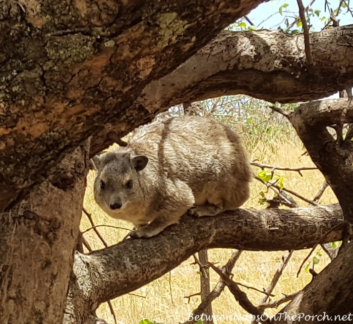 Rock Hyrax, Kenya_wm