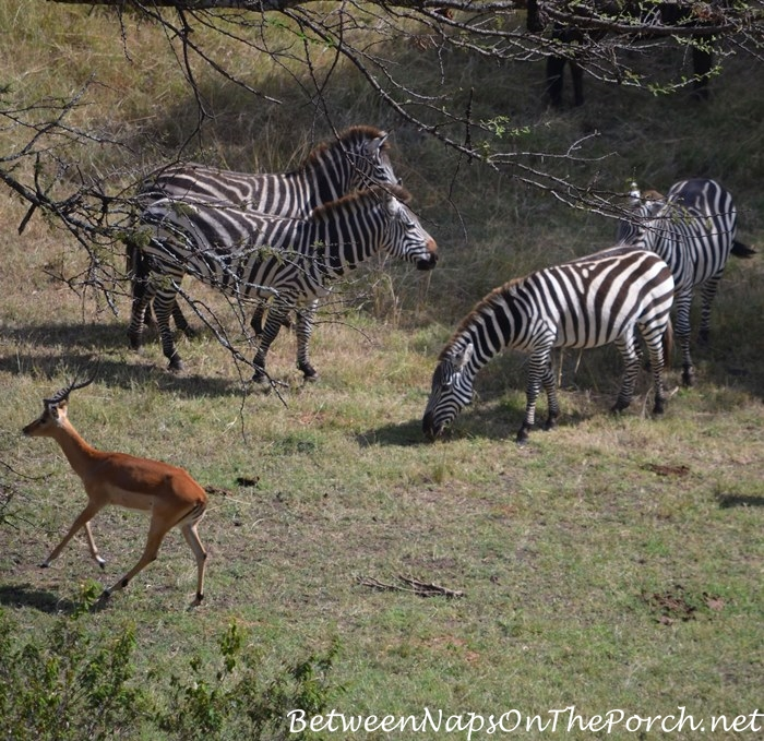View from the bath at Mahali Mzuri, Zebra and Thomson's Gazelle_wm