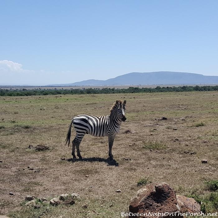 Zebra on drive to Mahali Mzuri