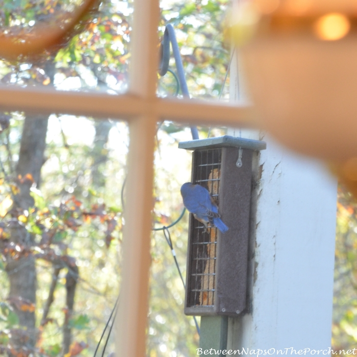 Bluebird eating from suet feeder_wm