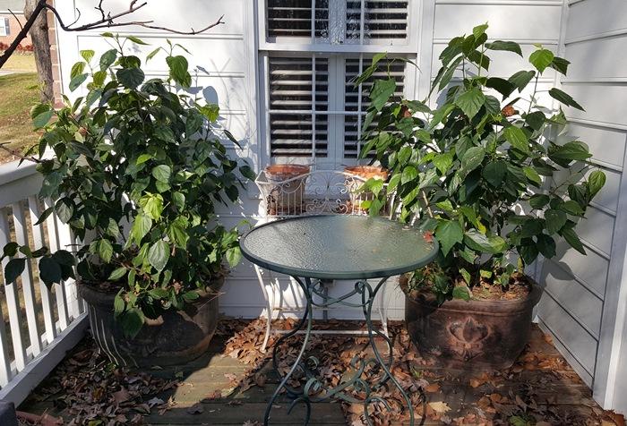 Moving Hibiscus Plants