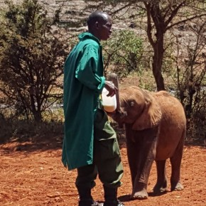 Baby Elephant Feeding at The David Sheldrick Wildlife Trust Elephant Orphanage