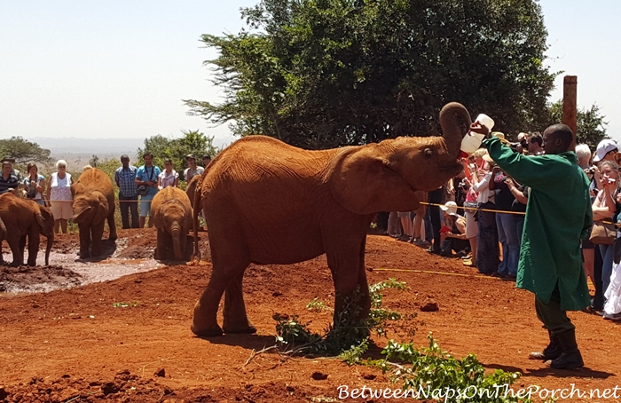 Baby Elephant at The David Sheldrick Wildlife Trust